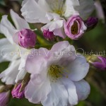 Cerisier à fleurs 'Amanogawa' - 1000675
