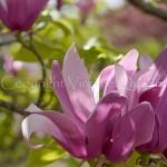 Magnolia 'Susan' - 1010002