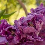 Tulipes - 1010671