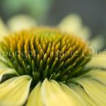 Echinacea jaune-1210080