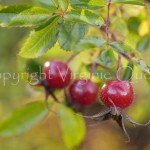 Fruits de rosa rugosa-1280173