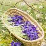 Violettes - 1350125