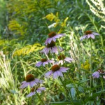 Echinaceas pourpres-1470083