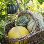 Melons - Variétés diverses