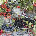 Récolte de fruits et baies sauvages