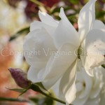 Rose remontante-1560638