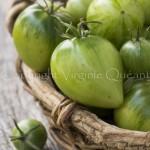 Récolte de tomates encore vertes