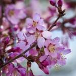 Cerisier à fleurs 'Okame' - P1100141