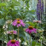 Echinaceas pourpres-P1460989