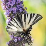 papillons 022